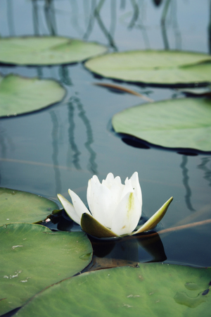 Nympaea Tetragona Georgi. Aged photo. White water lily and green lily pads in the lake. IUCN, Red List. Kenozersky National Park (Biosphere Reserve), Russia. Vertical format. Stock Photo