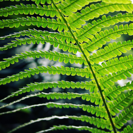 Fern leaf in the forests of Valaam island, Karelia. Pteridium aquilinum, eagle fern or common bracken. Aged photo. Summertime. Wild nature of Russian North. Natural background. Toned image.