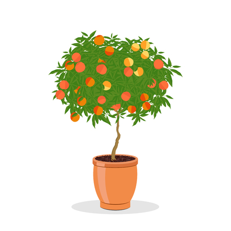 Peach tree growing in pot. Dwarf fruit tree in the terracotta flower pot. Growing peaches in a container. Isolated on white. Garden illustration.