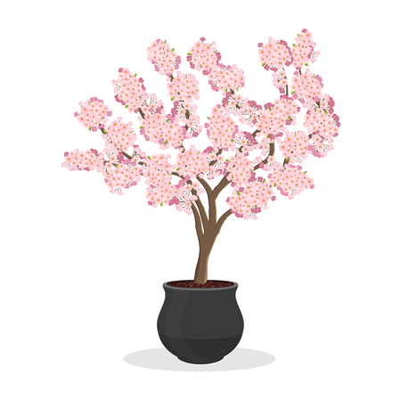 Growing cherries in a container. Small Cherry tree in bloom. Dwarf fruit tree growing in the flower pot. Japanese sakura blooming. Isolated on white. Garden illustration.