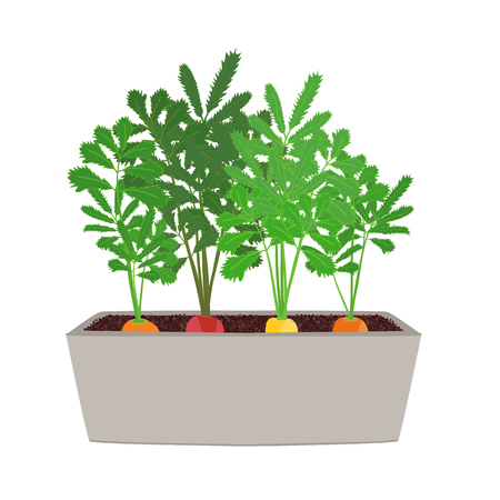 Rainbow Carrots Illustration. Growing vegetables in the pot.  Isolated on white. Garden illustration. Classic orange, dark red and bright yellow varieties. 矢量图像