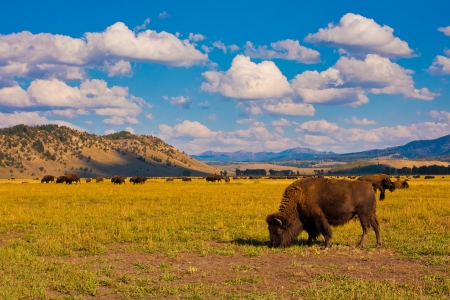 yellowstone: Bison show in Grand Teton National Park Stock Photo