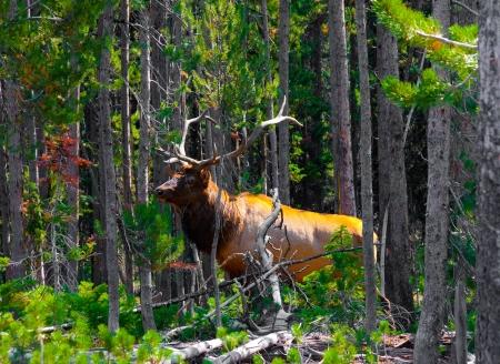 Elk im Dschungel in Yellowstone National Park Standard-Bild - 19161794