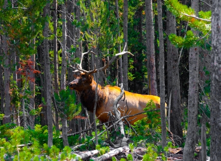 Elk in the Jungle in Yellowstone National Park 版權商用圖片