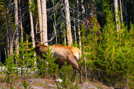 Elk in the Jungle in Yellowstone National Park photo