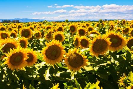Sunflowers fields 版權商用圖片 - 19194332