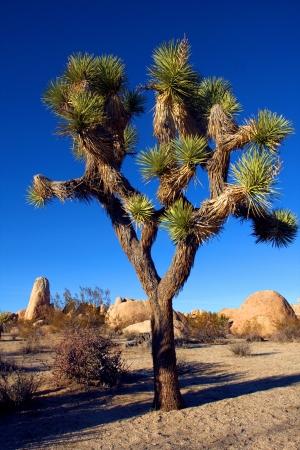 joshua tree: Joshua Tree in Joshua Tree National Park, California, USA Stock Photo
