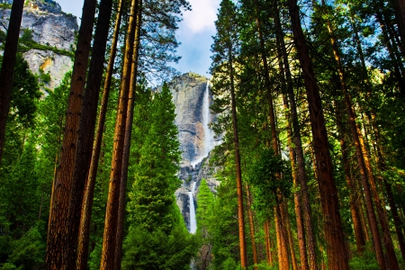 national forest: Yosemite Waterfalls behind Sequoias in Yosemite National Park,California