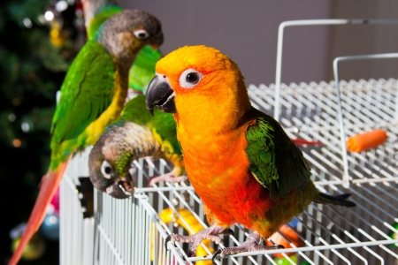 Sun Conure Parrot  and Green Cheek Parakeet 版權商用圖片