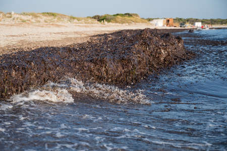 Es Trenc beach covered with piles of washed up seaweeds, Mallorca, Spain
