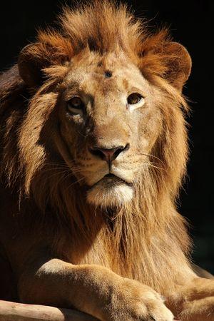 Portrait of a male lion king photo