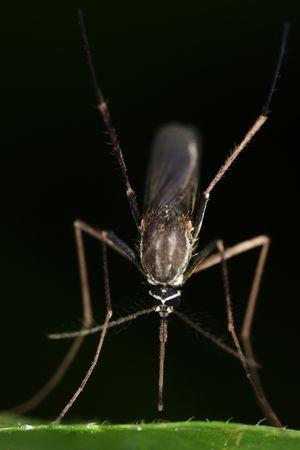noises: Macro of a mosquito