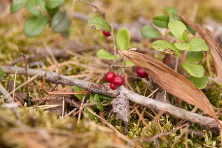 red cranberries on a branch in the coniferous forest