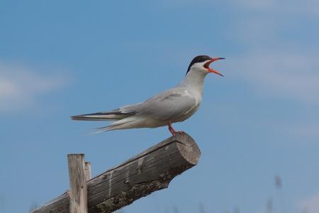 bipedal: A beautiful gull sitting on a wooden log, Kiji Stock Photo