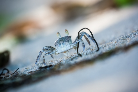 Beach crab carrying twig in the sand on the Seychelles photo