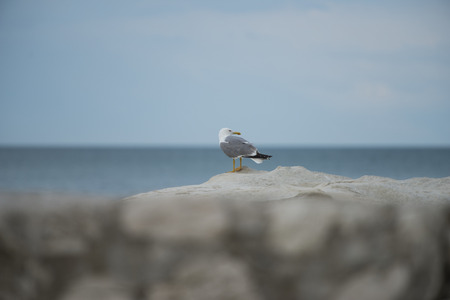 np: Seagull on a rock, Mount Conero NP, Marche, Italy