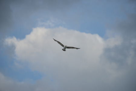 np: A seagull in flight, blue sky with clouds, mount Conero NP, Marche, Italy