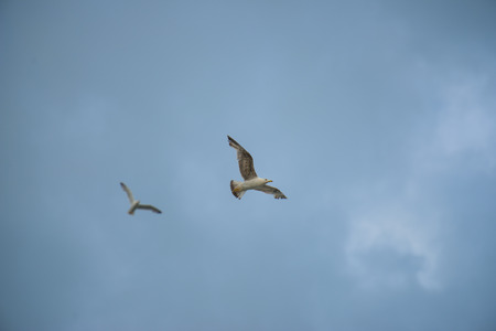 np: Two seagull in flight, blue sky with clouds, mount Conero NP, Marche, Italy Stock Photo