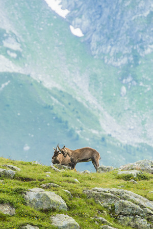 mountain goats: Alpine ibexes (mountain goats) fighting on the rocks in the meadows, Mount Blanc, France