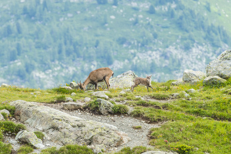 toed: Alpine ibexes (mountain goats) on the rocks in the meadows, Mount Blanc, France