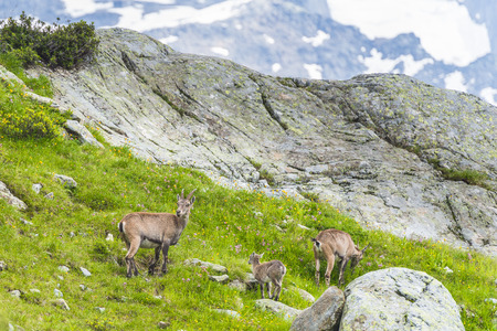mountain goats: Alpine ibexes (mountain goats) on the rocks in the meadows, Mount Blanc, France