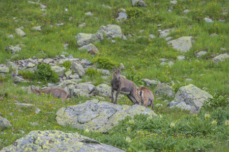 toed: Alpine Ibex (mountain goat) on the rocks in the meadows, Mount Blanc, France