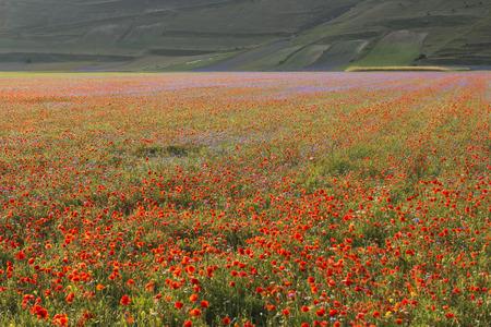 sibillini: Red blooming  in Piano Grande of Castelluccio di Norcia, Monti SIbillini NP, Umbria, Italy Stock Photo