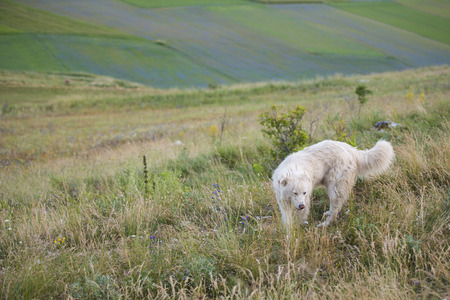 np: Sheepdog, Piano Grande, Monti Sibillini NP, Umbria, Italy