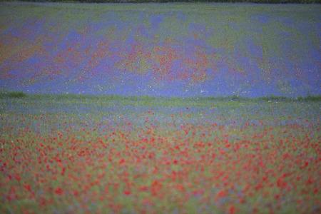 np: Blooming in Piano Grande of Castelluccio di Norcia, Monti SIbillini NP, Umbria, Italy Stock Photo