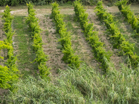 wineyard: Wineyard in the countryside, Conero, Marche, Italy