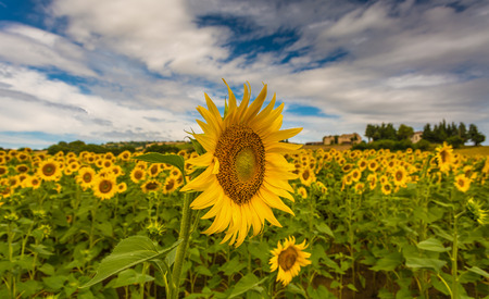 focus on foreground: Yellow sunflowers blooming in field, focus on one in foreground