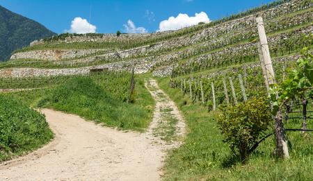 in particular: the Novacella vineyards in spring, Bolzano, Italy