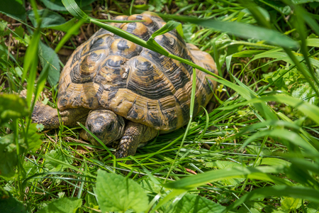 turtle walking on grass in springtime. Geochelone sulcata. Close - up Stock Photo