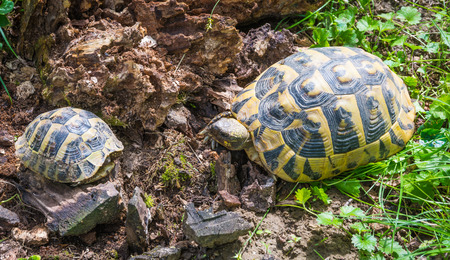 Turtle mom and little turtle walking on the grass in springtime. Geochelone sulcata Stock Photo