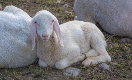 sheep lamb and ewe lying on meadow. new born lamb Stock Photo