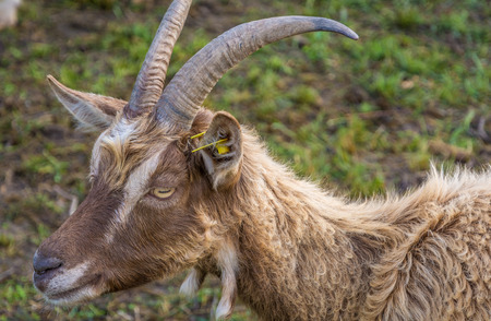 A frontal portrait of a goat with horns
