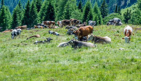 Cows on a green field with beautiful scenery at Ultimo Valley, South Tyrol, Northern Italy Banco de Imagens