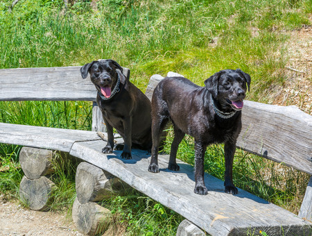 big ball: Labrador Retriever Black Dogs lay on a wooden bench in the mountains. Beautiful big old dogs Stock Photo