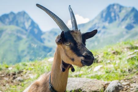 Alpine Mountain Goat Camosciata Delle Alpi, South Tyrol