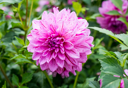 Dahlia Flower. oft pink and purples shine through the perfect petals.