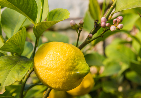 Lemon with leaves and flowers an tree in springtime Banque d'images