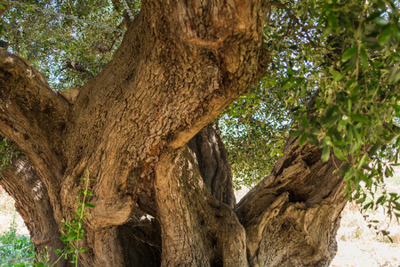 trunk of a large secular olive tree in Italy, Marche. Archivio Fotografico