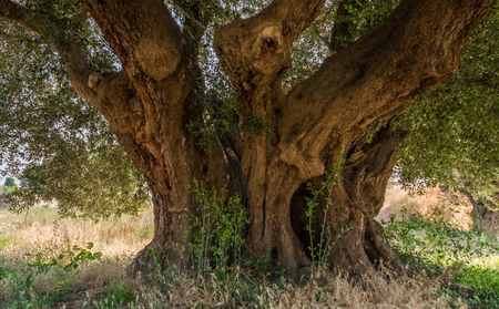 Secular Olive Tree with large an d textured trunk in a field of olive trees in Italy, Marche