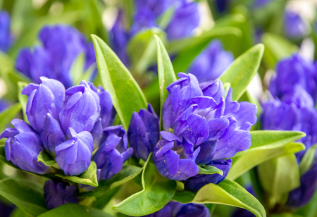 clustered gentian (Gentiana triflora) is a tall, flowering perennial plant in the genus Gentiana native to higher-elevation (600–1000 m) meadows and forests of China.Closeup of purple wildflowers