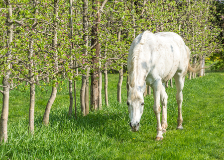 White Arabian Horse grazes in an orchard in the spring.Arabian horses are noted for their graceful build, speed, intelligence, and spirit and are often used as sires to improve or modify other breeds.
