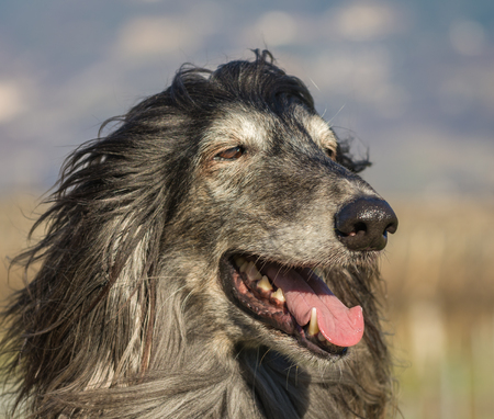 Portrait of an Afghan hound.The Afghan Hound is a hound that is distinguished by its thick, fine, silky coat .The breed was selectively bred for its unique features in the mountains of Afghanistan