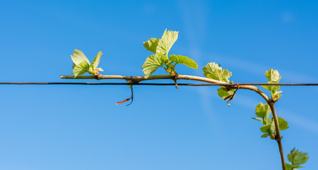 young green tender leaves of grapes on a background of blue sky in spring. Vineyard in springtime.The Guyot method of vine training