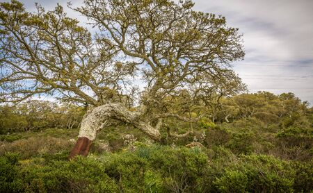 Cork oak forest ( Quercus suber) on the basalt plateau of Giara di Gesturi in Sardinia, italy