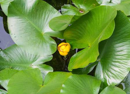 European yellow pond-lily, Yellow water-lily (Nuphar lutea), with flower