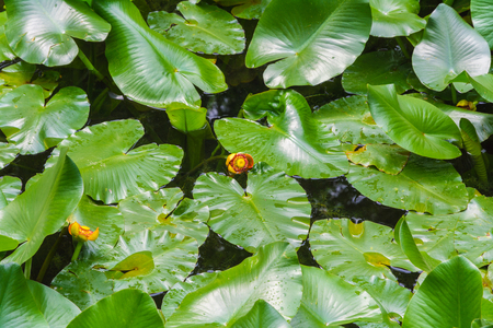 European yellow pond-lily, Yellow water-lily (Nuphar lutea) Stock Photo